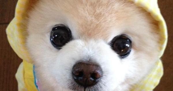ポメラニアンの俊介がTwitterで超キュートだと話題に そんな俊介くんの一部を紹介