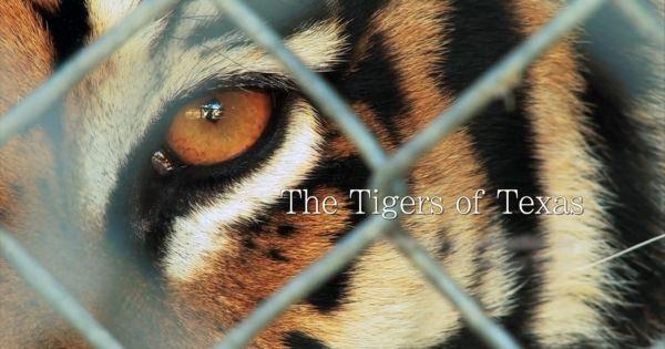 虎は怖い?いいえそんな事ありません、カワイイ一面もあります!超接近撮影にて虎の仕草を持て余す事なく観れちゃう「A New Toy」
