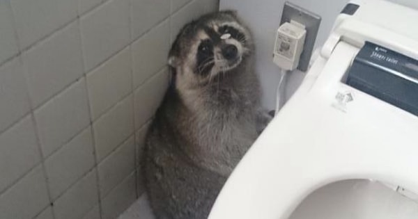 【アライグマ】学校のトイレにタヌキいたんだけどww