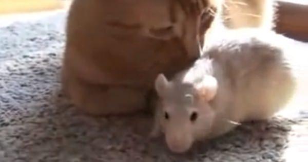 まさか、ネズミの方が猫を好きだなんて!?お互い身を寄せている微笑ましい映像