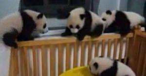 もふもふ もふもふ♪子パンダがいっぱい!!みんなでじゃれあってます(*´ω`*)