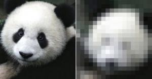 パンダがメイクの素晴らしさを証明した劇的瞬間!ビフォーアフターが大爆笑www