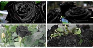 トルコに咲く天然の「黒バラ」漆黒が魅せる魅力・・・黒バラの花言葉は「貴方はあくまで私のモノ」