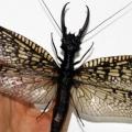 【ナウシカに現れる虫が発見される】四川省で世界最大の水生昆虫発見、翼開長21センチメートル