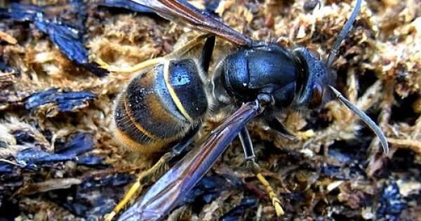 危険!ミツバチを食い尽くす「ツマアカスズメバチ」という特定外来生物が日本に上陸していた・・・