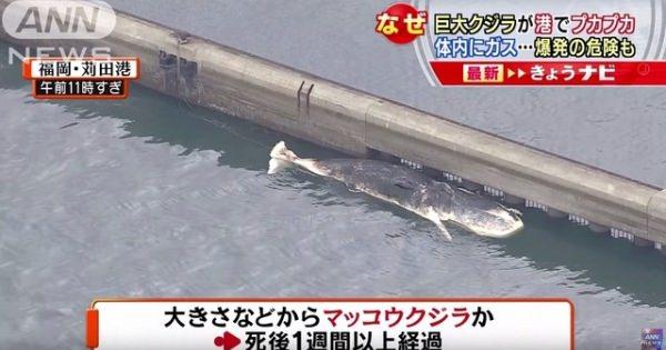 【動画あり】知らなかった・・・クジラの死骸って爆発するんだねw