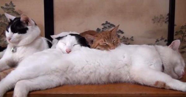 きっ気持ちよさそおぉ・・・にゃんこを「猫枕」にして眠るアニマルと飼い主たち