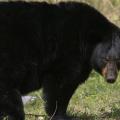 クマとばったり出会ってしまったら?ゆっくりと「目を合わさずに後ずさり」が一番安全