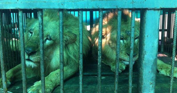 サーカス団で虐待を受けていたライオン33頭が、救出された!