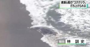 <異変!>  地震前兆?絶滅危惧種のコククジラの死骸が千葉・南房総で発見される!日本には100頭程度のみ