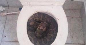 痛い!!便器に潜むニシキヘビに「チンチン」を噛まれたタイの男性!