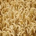 未承認のアメリカ遺伝子組み換え小麦が発覚 揺れる各国