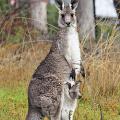 オーストラリアで人気のカンガルーさんがなんかムキムキな件