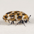 部屋に茶色いてんとう虫が大量発生!カツオブシムシの駆除(退治)と対策方法