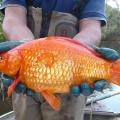 小さくてかわいい金魚を川に放したらビックリ!信じられないほどの巨大魚に!