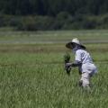 <・・・日本の恥がついに国際レベルに!!> 福島産米がイギリスで発売される Fukushima rice to be sold in Britain