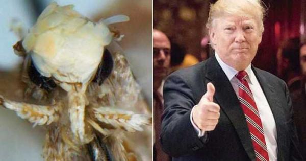 「ドナルドトランピ」と命名された新種のガ・蛾!やっぱり性格は傲慢??