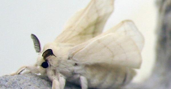 人間にすべてを託した昆虫「カイコガ」の可愛さ&か弱すぎる生態まとめ