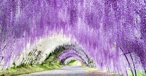 まるで絵画のよう! 美しすぎる河内藤園「藤のトンネル」絶景画像集!