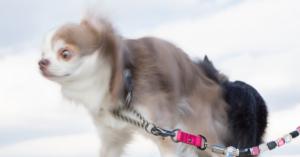 【衝撃】世界一小さい犬はチワワじゃなかった!?チェコ産まれのPražský Krysařík(難読)