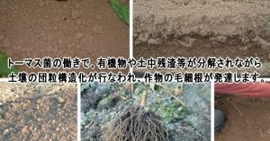 有機栽培の収穫量をアップさせる微生物資材「トーマス菌」の活用