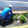 ヒアリ、横浜で700匹超を確認 発見、5都府県に