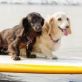 可愛いわんちゃんと波乗り!?ドックサーフィンの魅力とは!