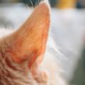 ネコちゃんのイカ耳って、一体どんな気持ちなの?