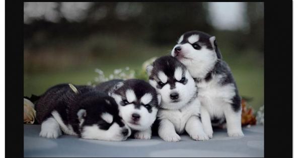 【厳選】シベリアン・ハスキー【可愛すぎる】子犬画像スペシャルまとめ #SiberianHusky #動物図鑑