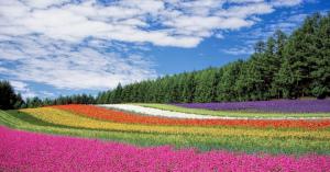 【北海道観光】富良野のラベンダーをみるぞ!自然の紫絨毯の時期はいつなのか?