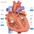 珍しい?心臓にはなぜガンができにくい?