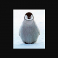 【癒し動物白書】人気2トップ! アデリー&皇帝「ペンギン」萌えの極み【画像&動画】スペシャルまとめ  #人鳥 #企鵝 #南極大陸