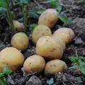 じゃがいもの不思議な保存食「凍み芋」