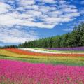 【北海道観光】旅行!富良野のラベンダー畑!富良野・ファーム富田までの移動方法と時間と料金