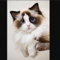 人気急上昇!【猫図鑑】可愛すぎる「ラグドール」の癒されまくる「画像」まとめ  #Ragdoll  #ネクストブレイク