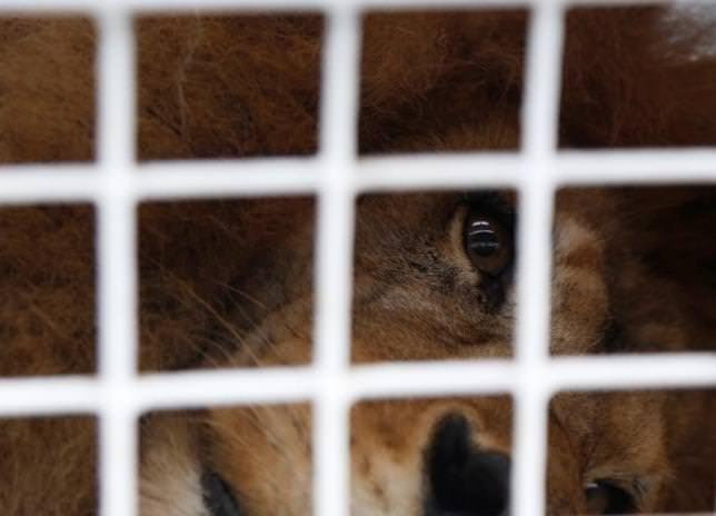 サーカスで虐待のライオン33頭救出、新天地はアフリカの保護区