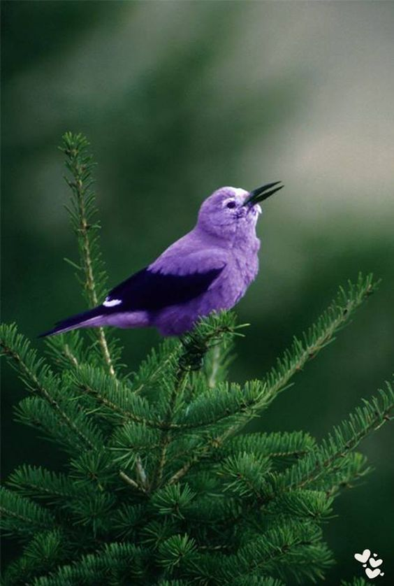 Little Purple Bird