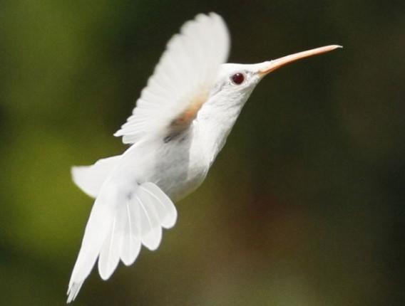 真っ白なハチドリ
