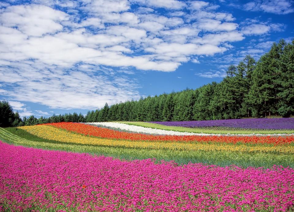 北海道富良野のラベンダー畑