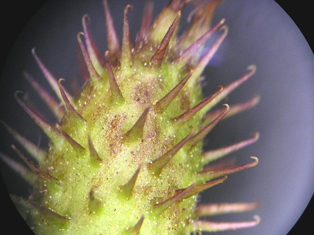オナモミの実を双眼実体顕微鏡で見ると
