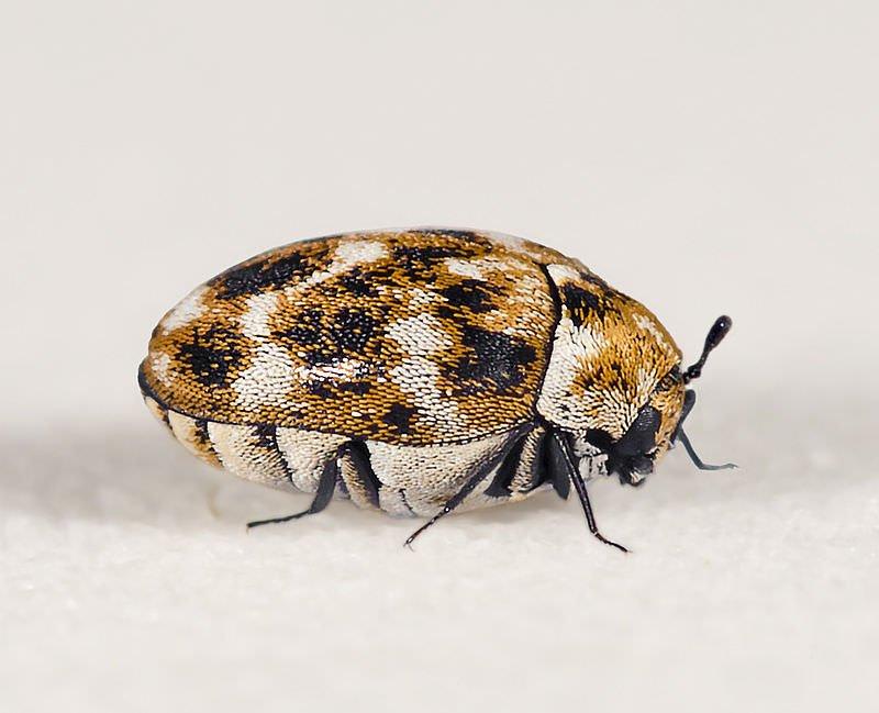 カツオブシムシの成虫