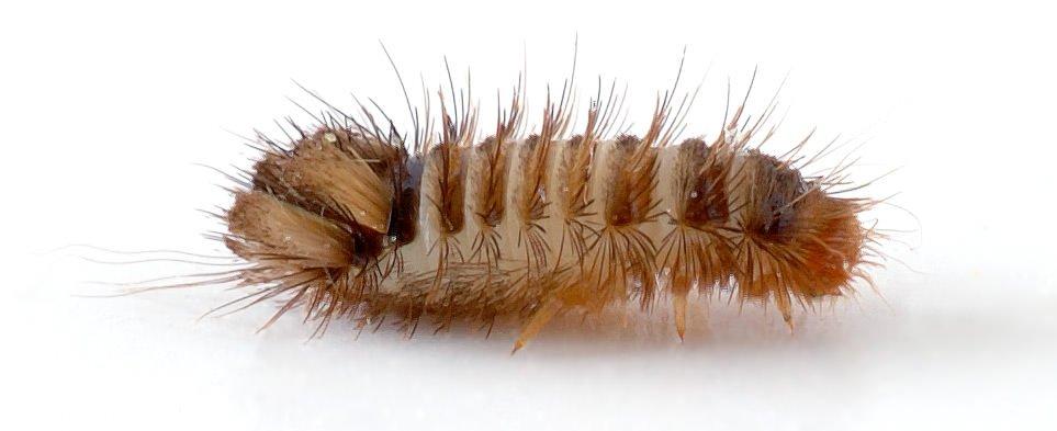 カツオブシムシの幼虫