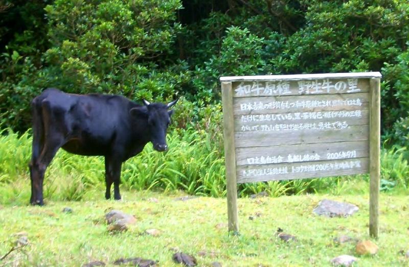 トカラ牛の俗称を持つ口之島牛(くちのしまうし)