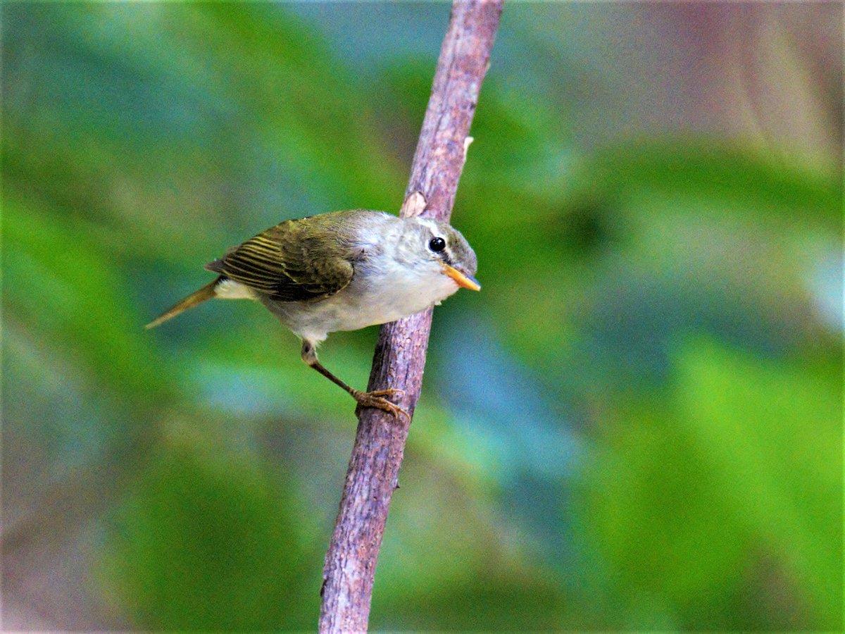 トカラ列島で見られる夏鳥イイジマムシクイ
