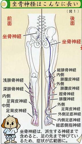 坐骨神経はこんなふうです