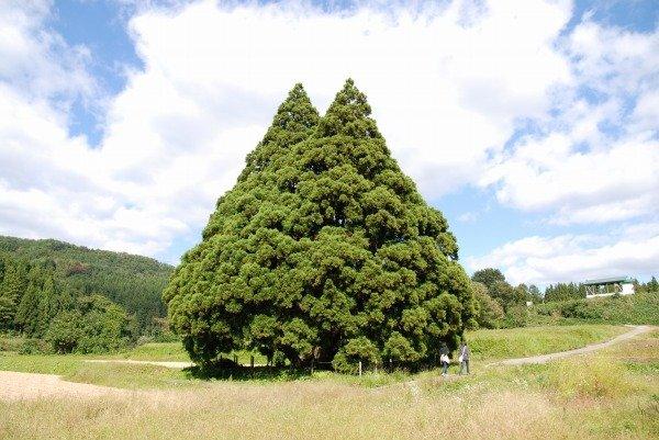 山形県鮭川村にはトトロの木がある。
