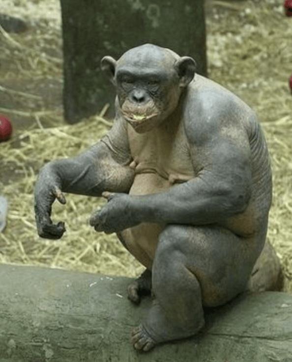 筋肉モリモリなチンパンジー