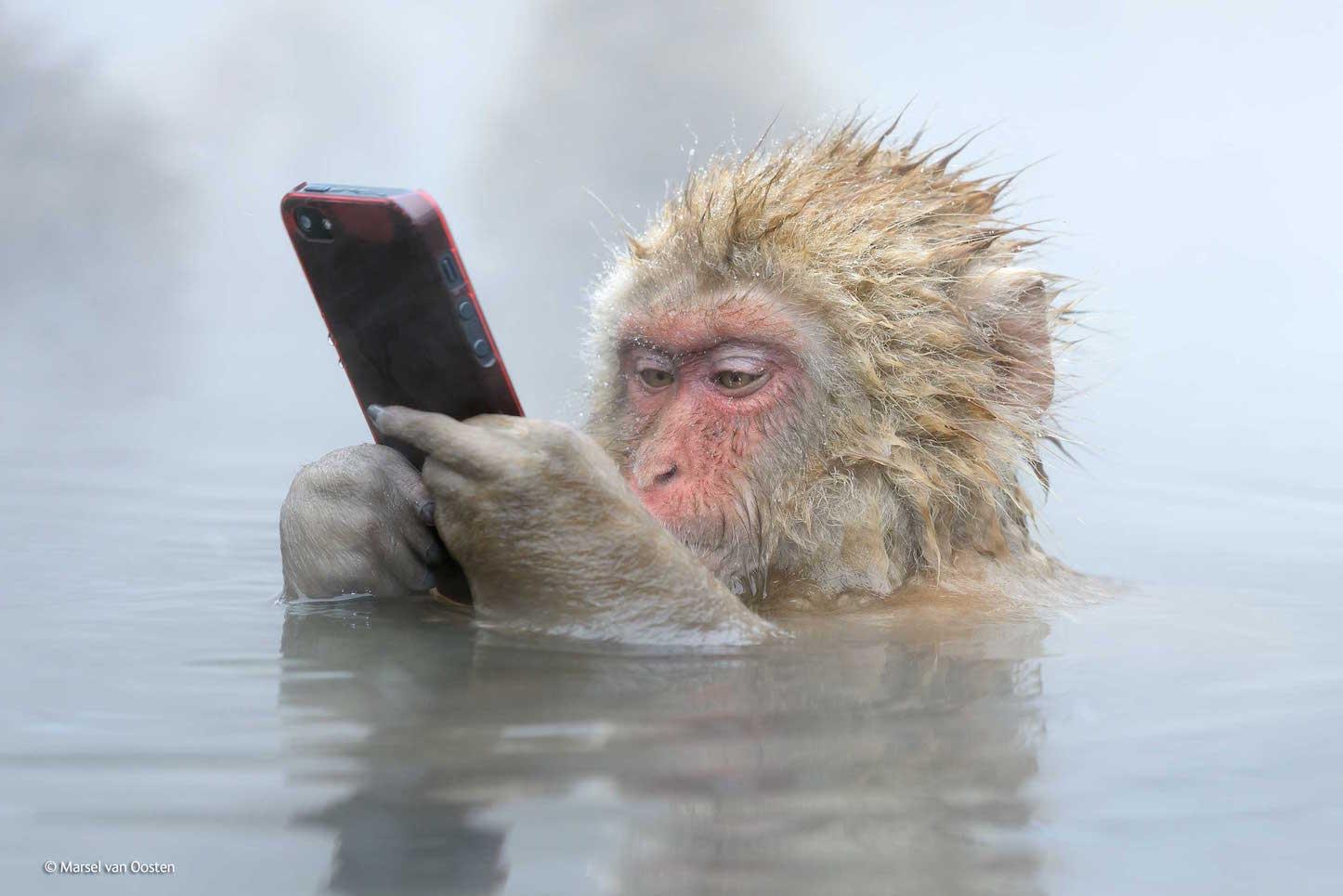 温泉につかりながらiPhoneをいじるニホンザル