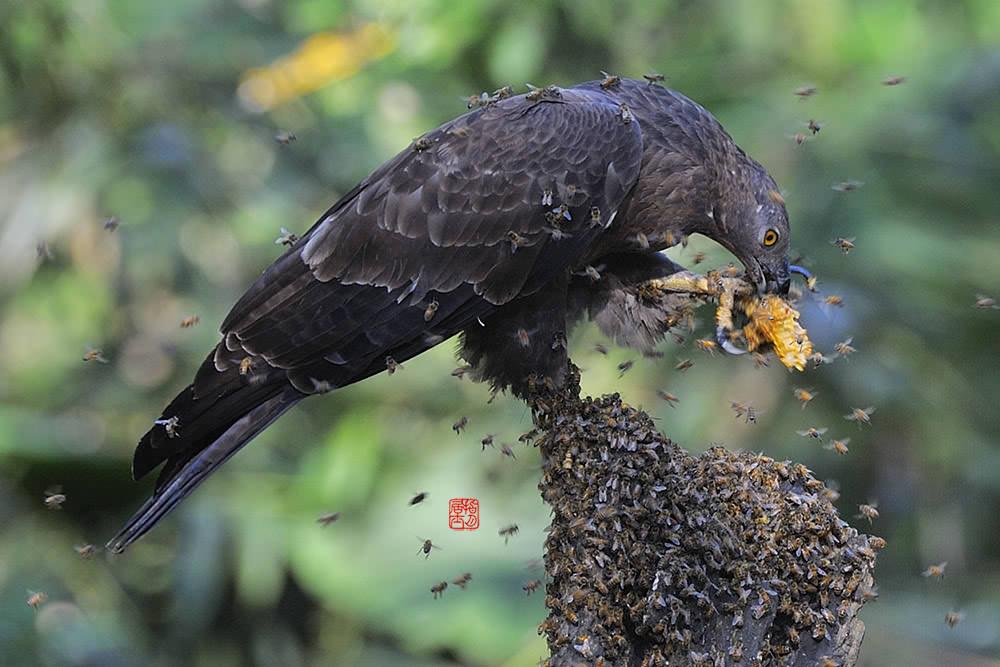 ツマアカスズメバチを捕食している「ハチクマ」