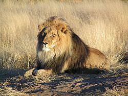 言わずと知れた百獣の王ライオン